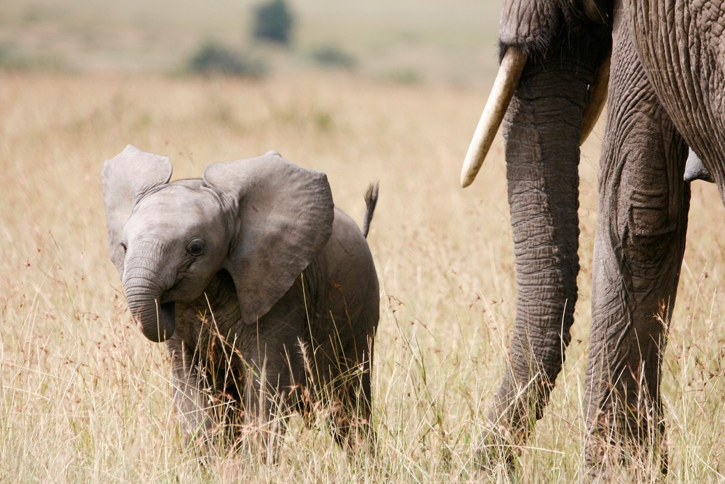 YongELephant MasaiMara1